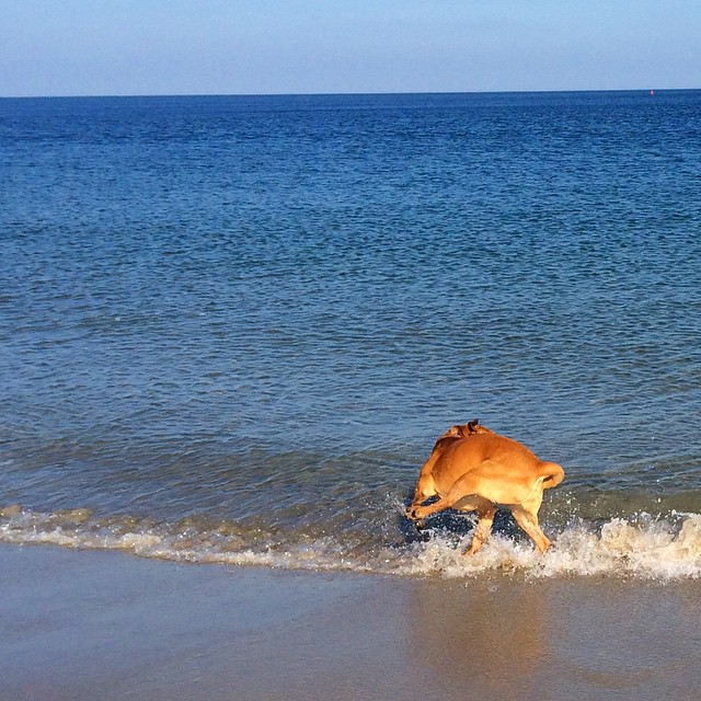 Dog in the waves at the ocean