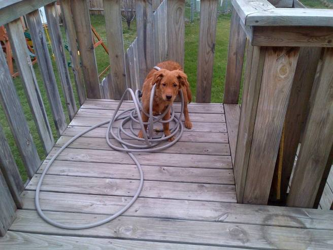 Golden retriever wrapped in garden hose