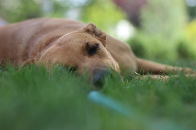 Dog asleep in grass