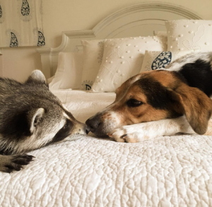 Dog and racoon